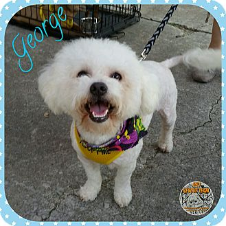 Poodle (Miniature) Mix Dog for adoption in Houston, Texas - George