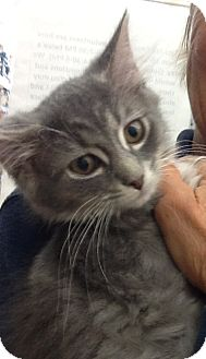 Domestic Longhair Kitten for adoption in Warren, Ohio - Gracie