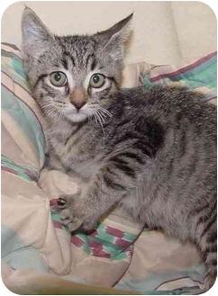 Domestic Shorthair Kitten for adoption in Brenham, Texas - Jack