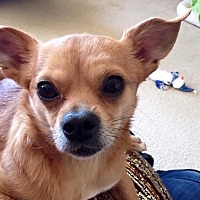 Adopt A Pet :: Cowboy - Plano, TX
