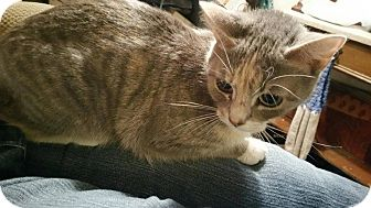 Domestic Shorthair Cat for adoption in Salamanca, New York - Precious