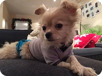 Chihuahua/Pomeranian Mix Dog for adoption in Barriere, British Columbia - Brodie - ADOPTION PENDING