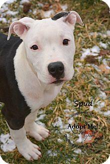 American Staffordshire Terrier Puppy for adoption in Lincoln, Nebraska - Spud