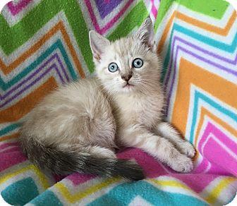 Siamese Kitten for adoption in Tampa, Florida - Esteban