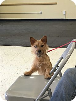 Yorkie, Yorkshire Terrier/Terrier (Unknown Type, Small) Mix Puppy for adoption in Algonquin, Illinois - Wyatt