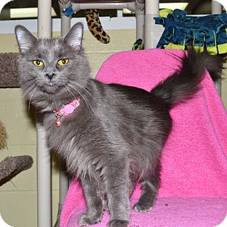 Domestic Mediumhair Cat for adoption in Wheaton, Illinois - Lucy