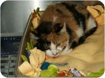 Domestic Shorthair Cat for adoption in Mason City, Iowa - Tilt