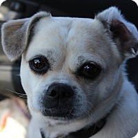 Adopt A Pet :: Chi Chi - in Maine - kennebunkport, ME