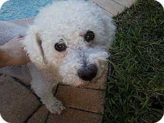 Bichon Frise Dog for adoption in Boynton Beach, Florida - Ronnie