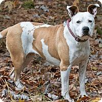 Adopt A Pet :: Tory - Cashiers, NC