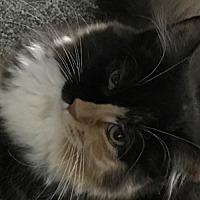 Adopt A Pet :: Feline Martina - Remus, MI