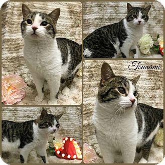 Domestic Shorthair Cat for adoption in Joliet, Illinois - Tsunami