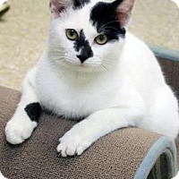 Domestic Shorthair Cat for adoption in Norman, Oklahoma - Kisses