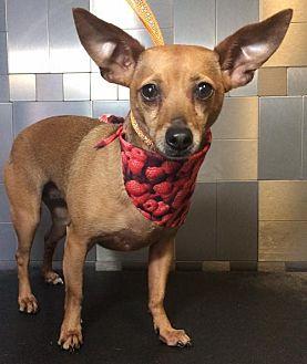 Dachshund/Chihuahua Mix Dog for adoption in McKinney, Texas - Madi