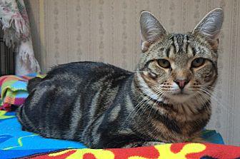 Domestic Shorthair Cat for adoption in Middletown, New York - Jon