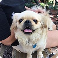 Pekingese Mix Dog for adoption in Richmond, Virginia - Lola