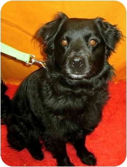 Spaniel (Unknown Type)/Australian Shepherd Mix Dog for adoption in Portland, Oregon - Karla