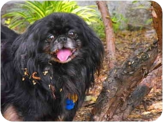 Pekingese Dog for adoption in Richmond, Virginia - Bernie Adopted !!!!