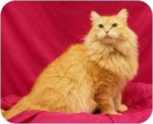 Domestic Longhair Cat for adoption in Sacramento, California - PuffNStuff