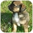 Photo 3 - Labrador Retriever/Border Collie Mix Puppy for adoption in Portsmouth, Rhode Island - Sadie Girl
