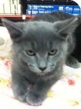 Domestic Shorthair Kitten for adoption in Riverside, Rhode Island - Annabelle