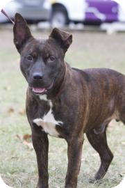American Pit Bull Terrier Mix Dog for adoption in Gainesville, Florida - Bear