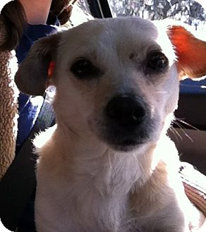 Chihuahua Mix Dog for adoption in Gainesville, Florida - Juicy