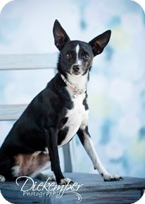 Rat Terrier Dog for adoption in Vandalia, Illinois - Bella