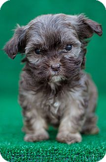 Shih Tzu/Poodle (Miniature) Mix Puppy for adoption in Auburn, California - Betty Boop
