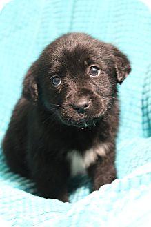 Labrador Retriever/Retriever (Unknown Type) Mix Puppy for adoption in Greenville, Virginia - Kristoff