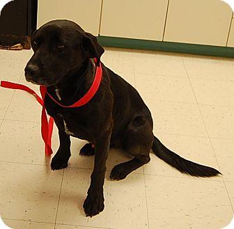 Labrador Retriever Mix Dog for adoption in Richmond, Virginia - Beau