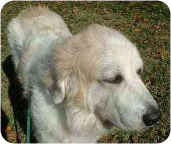 Great Pyrenees Dog for adoption in Kyle, Texas - Grabowsky