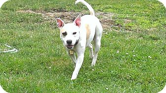 Pit Bull Terrier Mix Dog for adoption in Franklin, Indiana - Radar