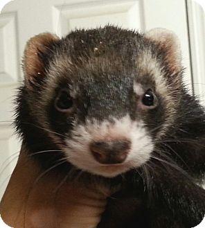 Ferret for adoption in Orlando, Florida - Bandit