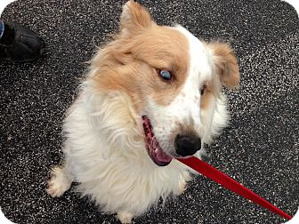 Australian Shepherd Mix Dog for adoption in Owenboro, Kentucky - FIDO!