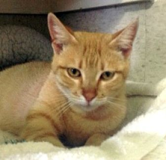 Domestic Shorthair Cat for adoption in Palm City, Florida - Chobee