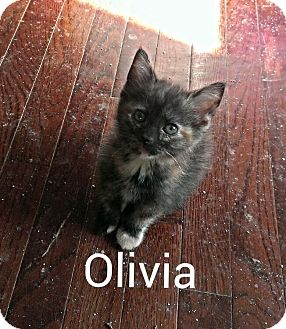 Domestic Shorthair Kitten for adoption in Ringgold, Georgia - Olivia