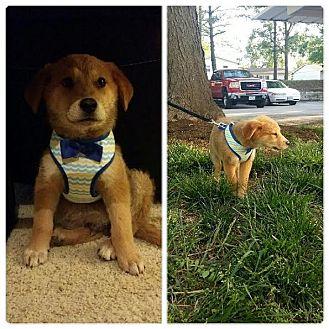 Labrador Retriever Mix Puppy for adoption in waterbury, Connecticut - Finn