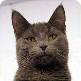 Russian Blue Cat for adoption in Huntley, Illinois - Niko