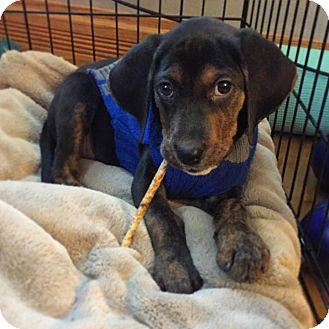 Beagle/Hound (Unknown Type) Mix Puppy for adoption in Sugar Grove, Illinois - PupPup