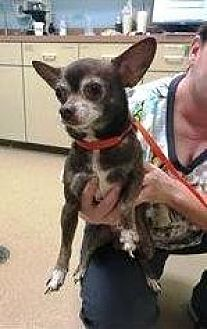 Chihuahua Dog for adoption in West Palm Beach, Florida - Sparky