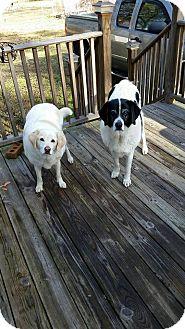 Labrador Retriever Mix Dog for adoption in Sumter, South Carolina - Moses (and Amy)
