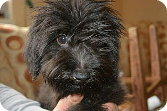 Terrier (Unknown Type, Small) Mix Puppy for adoption in Morristown, New Jersey - Gremlin