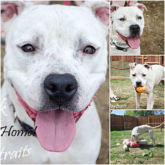 Dogo Argentino/Boxer Mix Dog for adoption in Sylacauga, Alabama - Sadie