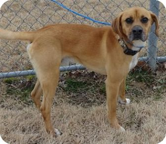 Boxer/Labrador Retriever Mix Dog for adoption in Olive Branch, Mississippi - Shiloh