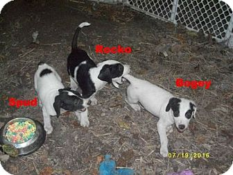 Beagle Mix Puppy for adoption in Silverdale, Washington - puppies