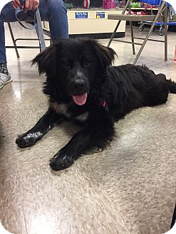 Newfoundland/Border Collie Mix Dog for adoption in Hermitage, Tennessee - Bernie