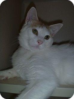 Domestic Shorthair Cat for adoption in Hamburg, New York - Marnie