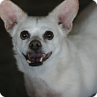 Corgi/Terrier (Unknown Type, Small) Mix Dog for adoption in Canoga Park, California - Butter