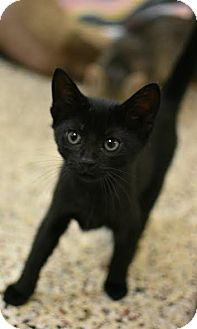 American Shorthair Kitten for adoption in Aiken, South Carolina - Soot